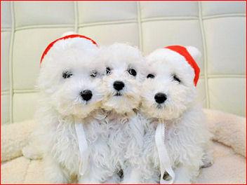 プードルクリスマス2