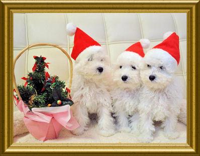 プードルクリスマス3