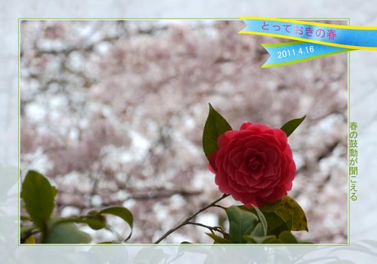 哲学の道の桜2