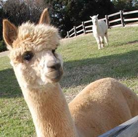 alpaca8w.jpg