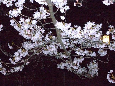 4-2夜桜2