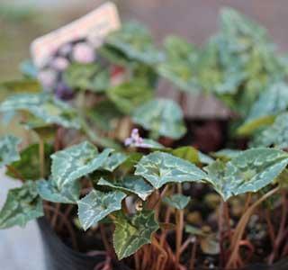 12_12_07_hederifolium.jpg