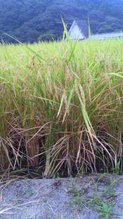 千葉のお米