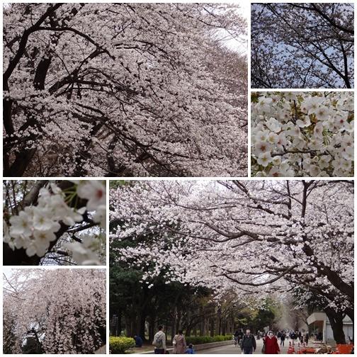 20130323 お花見桜
