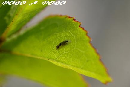 ヒラタアブ幼虫