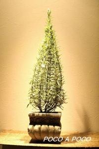 ローズマリーのツリー