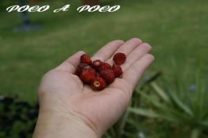 ワイルドストロベリーの収穫