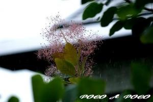 秋のスモークツリー