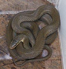 _tn_jimu-01ナミヘビ
