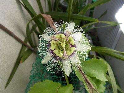 パッションの花