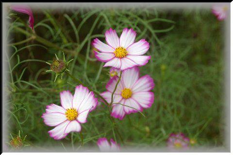 kosumosu_20111017144120.jpg