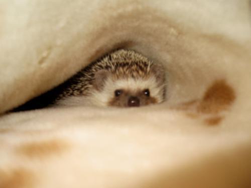 ポンちゃんは毛布がお好き