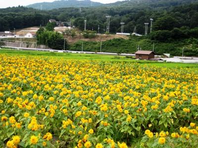 ひまわり畑①