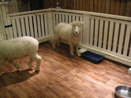 220313羊