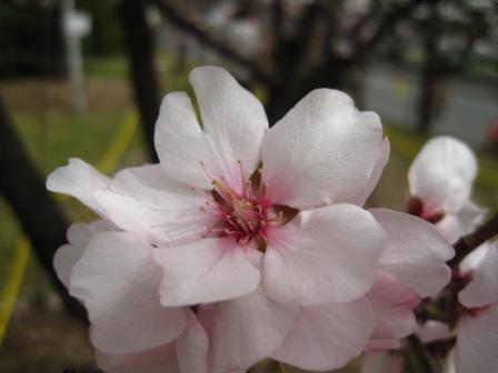 220321アーモンドの花3