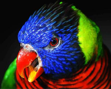 large_Lorikeet_AnnieStraight.jpg