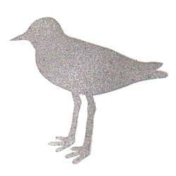 ハジロコチドリ