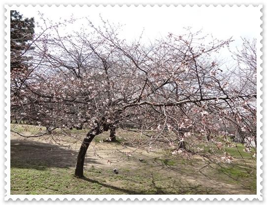 早咲きの桜咲き始め