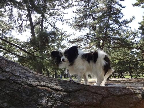 大きな松の木に乗せてみた