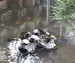 池のカメ1