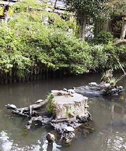 池のカメ2