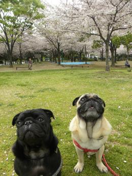 お花見(大阪)