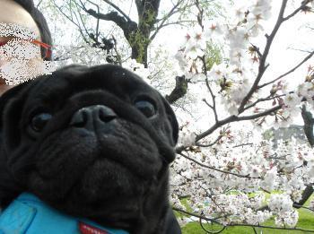 桜を背負って
