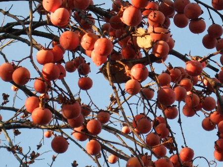 柿の実と鳥