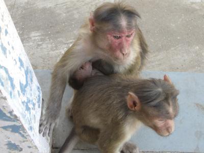 エレファンタ島の猿