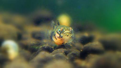 フレッシュウォーターバンブルビーゴビー 稚魚 2012-06-22 (10)