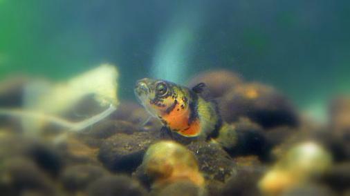 フレッシュウォーターバンブルビーゴビー 稚魚 2012-06-22 (9)