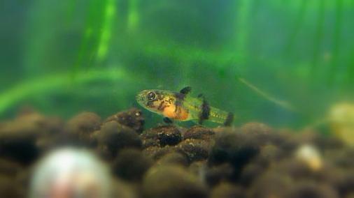 フレッシュウォーターバンブルビーゴビー 稚魚 2012-06-22 (8)
