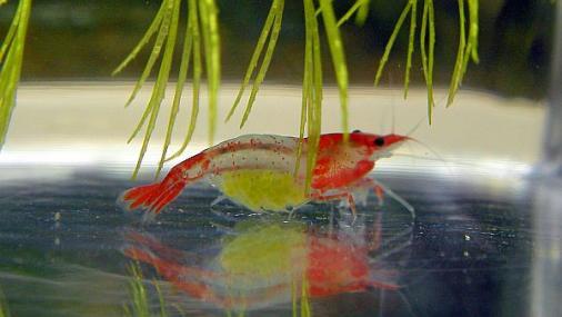 ルリーシュリンプ抱卵 2012年6月26日