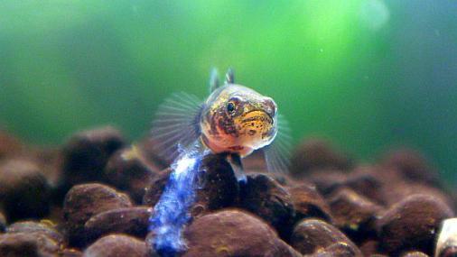 フレッシュウォーターバンブルビーゴビー 稚魚 2012-07-02 (10)