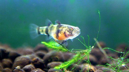 フレッシュウォーターバンブルビーゴビー 稚魚 2012-07-02 (5)