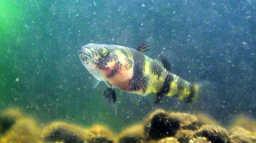 フレッシュウォーターバンブルビーゴビー 稚魚 2012-07-012 (2)
