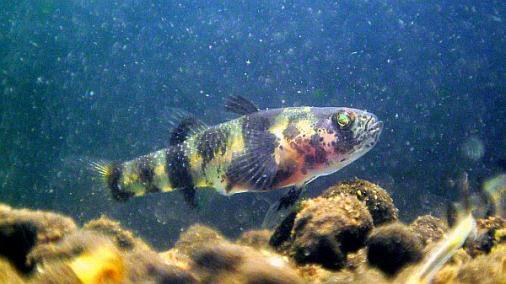フレッシュウォーターバンブルビーゴビー 稚魚 2012-07-012 (5)