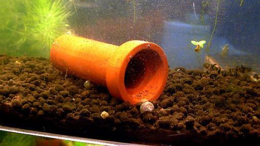 フレッシュウォーターバンブルビーゴビー稚魚飼育環境 2012-07-19 (2)