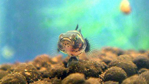 フレッシュウォーターバンブルビーゴビー 稚魚 2012-07-25 (6)