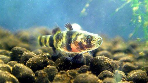 フレッシュウォーターバンブルビーゴビー 稚魚 2012-07-25 (2)