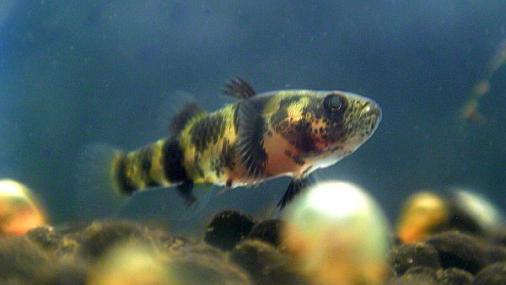 フレッシュウォーターバンブルビーゴビー 稚魚 2012-07-27 (5)