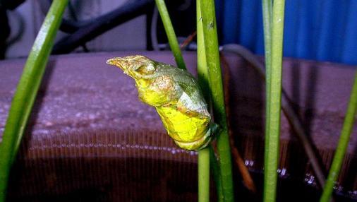 蝶の蛹 2012-08-09 (4)