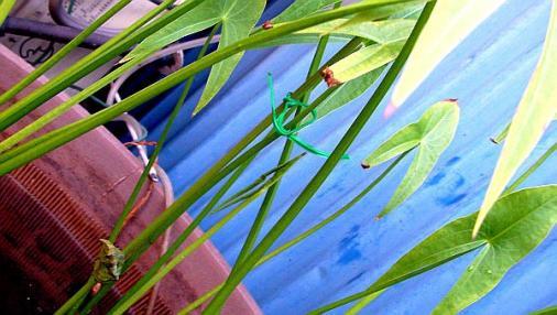 蝶の蛹 2012-08-09 (3)