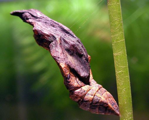 蝶の蛹 2012-08-15 (4)