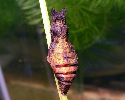 蝶の蛹 2012-08-15 (3)