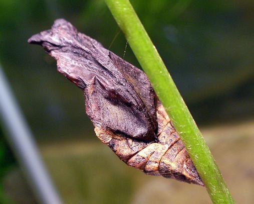 蝶の蛹 2012-08-15 (2)