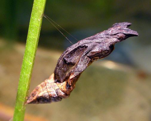 蝶の蛹 2012-08-15