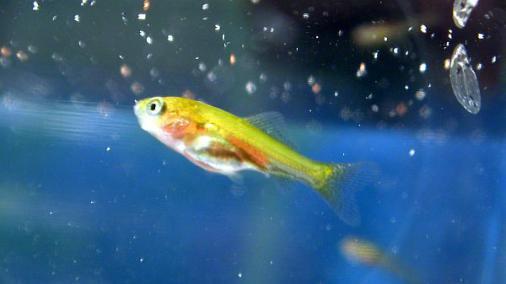 稚金魚 2012-09-14 (2)