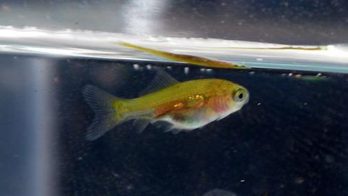 稚金魚 2012-09-14 (1)