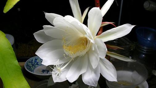 月下美人 (6)2012-09-27